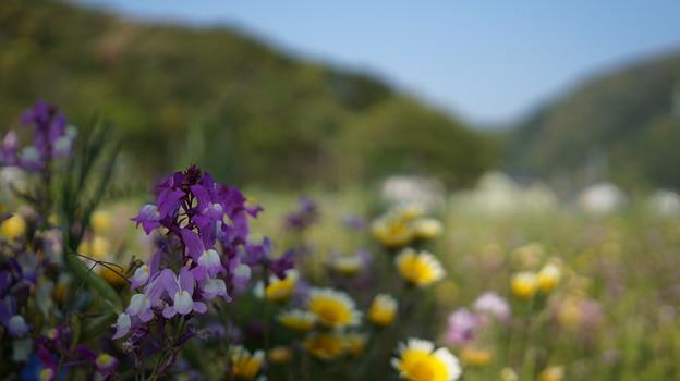 DSC02377 松崎花畑