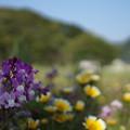 写真: DSC02377 松崎花畑
