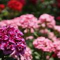 写真: DSC02618新子安公園の花5月