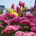 写真: DSC02620新子安公園の花5月