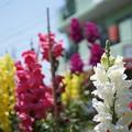 写真: DSC02623新子安公園の花5月