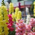 写真: DSC02625新子安公園の花5月
