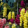写真: DSC02636新子安公園の花5月