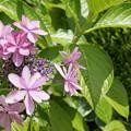 写真: 街撮り紫陽花