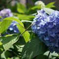 写真: 街撮り紫陽花5