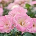 3つの小薔薇