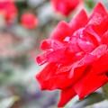 小雨に濡れて輝くバラ