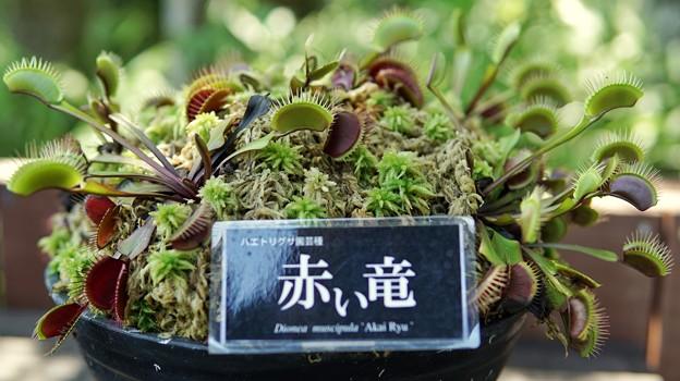 箱根湿生花園DSC09970-01