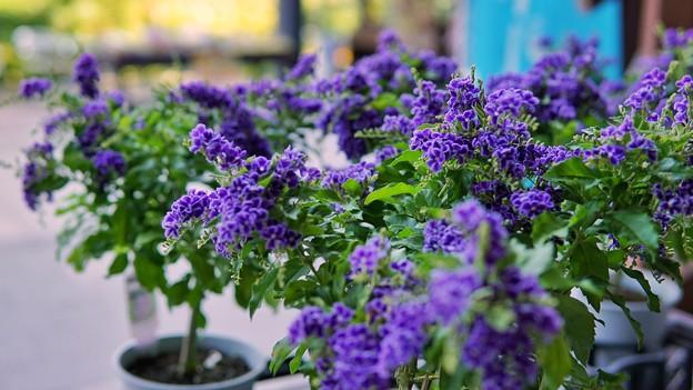 箱根湿生花園DSC09983-01