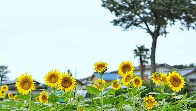 清瀬向日葵フェスDSC00328-01