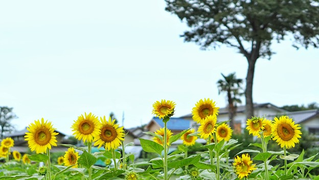 Photos: 清瀬向日葵フェスDSC00328-01