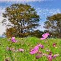 写真: コスモスの丘