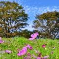 可愛く優しい秋桜