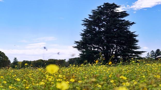 木と黄色のコスモス畑