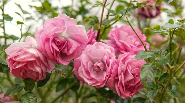 薔薇たちの共演