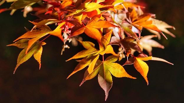 熱海梅園紅葉まつり11