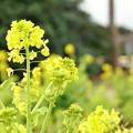 Photos: TON03039-大船フラワーセンター(優しい菜の花)