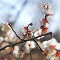 Photos: TON03380-01郷土の森梅まつり