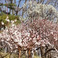 Photos: TON03393-01郷土の森梅まつり
