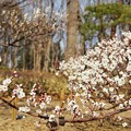Photos: TON03399-01郷土の森梅まつり