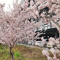 TON03690-01春木径・幸せ道桜まつり2019
