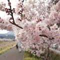 TON03695-01春木径・幸せ道桜まつり2019