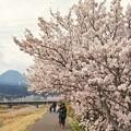 TON03702-01春木径・幸せ道桜まつり2019