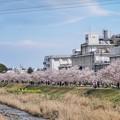 TON03704-01春木径・幸せ道桜まつり2019