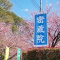TON03773-01安行桜と花桃の旅
