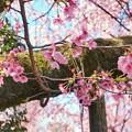 TON03777-01安行桜と花桃の旅