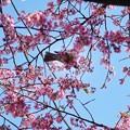 写真: TON03827-01安行桜と花桃の旅