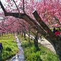 写真: TON03837-01安行桜と花桃の旅