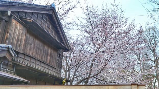 TON04006-01小金井公園桜まつり