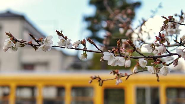 TON04020-01小金井公園桜まつり