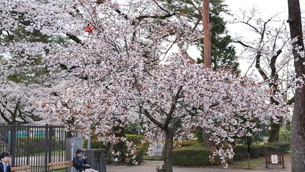 TON04038-01小金井公園桜まつり