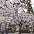 Photos: TON04038-01小金井公園桜まつり