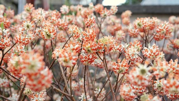 TON04064-01小金井公園桜まつり