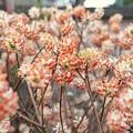 Photos: TON04064-01小金井公園桜まつり