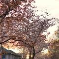 TON04072-01小金井公園桜まつり