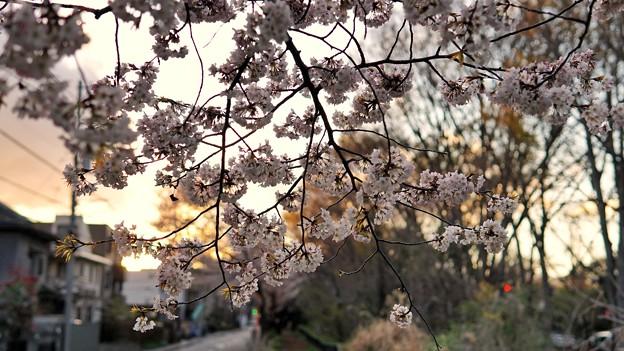 TON04073-01小金井公園桜まつり