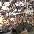 Photos: TON04073-01小金井公園桜まつり