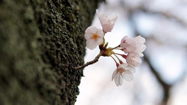 Photos: TON04077-01小金井公園桜まつり