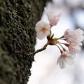 TON04077-01小金井公園桜まつり