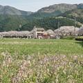 Photos: TON04156-01花畑と桜並木と伊豆の旅