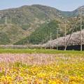 Photos: TON04174-01花畑と桜並木と伊豆の旅