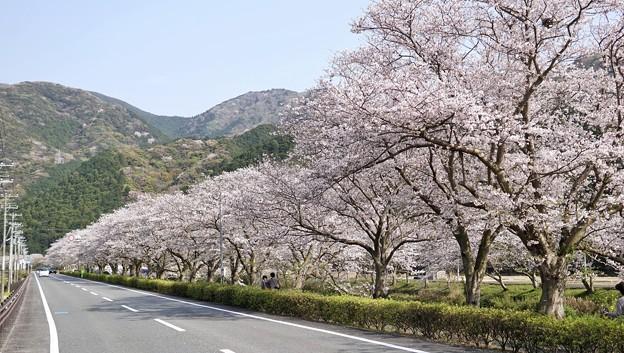 TON04179-01花畑と桜並木と伊豆の旅