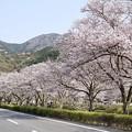 Photos: TON04179-01花畑と桜並木と伊豆の旅