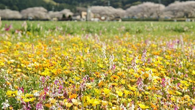 TON04203-01花畑と桜並木と伊豆の旅