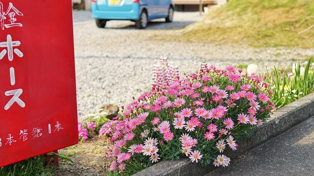 TON04217-01花畑と桜並木と伊豆の旅