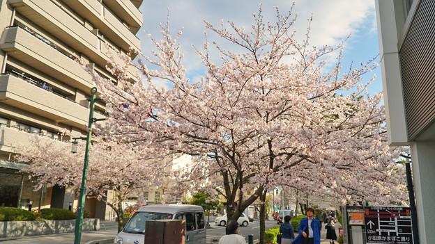 TON04320小田原城址公園の桜